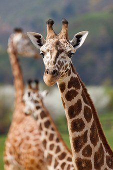 what do giraffes and humans have in common